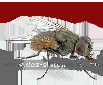 Большая комнатная муха – общий вид