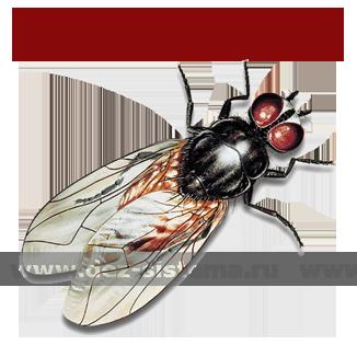 Малая комнатная муха – общий вид