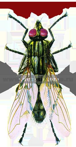 Серая мясная муха – общий вид