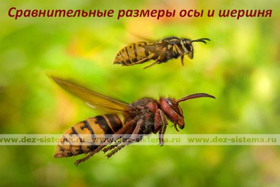 Сравнительные размеры осы и шершня