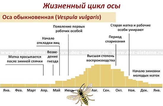 Жизненный цикл осы