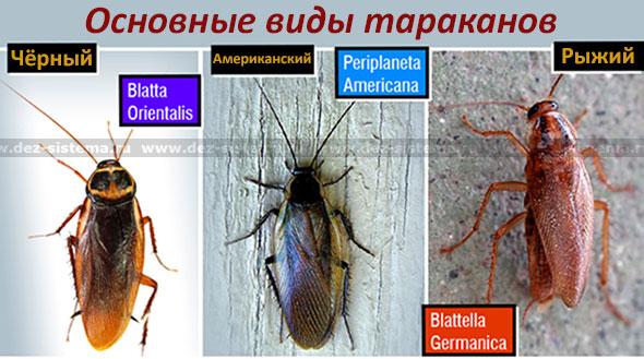 Основные виды тараканов